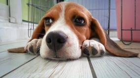 χαριτωμένο σκυλί κουταβιών λαγωνικών Στοκ Φωτογραφίες