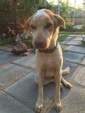 Χαριτωμένο σκυλί που εξετάζει σας Στοκ Φωτογραφίες