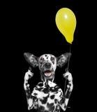 Χαριτωμένο σκυλί που εξετάζει το μπαλόνι Στοκ εικόνες με δικαίωμα ελεύθερης χρήσης