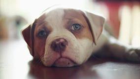 Χαριτωμένο σκυλί που καθορίζει αντιμετωπίζοντας τη κάμερα αμερικανικό μπουλντόγκ φιλμ μικρού μήκους