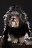 Χαριτωμένο σκυλί που ντύνεται επάνω στο μαύρο εκλεκτής ποιότητας κοστούμι ύφους Στοκ Εικόνες