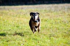 Χαριτωμένο σκυλί που τρέχει μπροστά στη χλόη Στοκ φωτογραφίες με δικαίωμα ελεύθερης χρήσης
