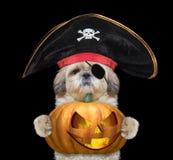 Χαριτωμένο σκυλί σε ένα κοστούμι πειρατών με την κολοκύθα halloweens Στοκ Εικόνες