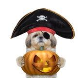Χαριτωμένο σκυλί σε ένα κοστούμι πειρατών με την κολοκύθα halloweens Στοκ φωτογραφία με δικαίωμα ελεύθερης χρήσης