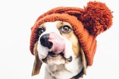 Χαριτωμένο σκυλί στη θερμή πορτοκαλιά γλώσσα καπέλων που κολλά έξω Στοκ εικόνες με δικαίωμα ελεύθερης χρήσης