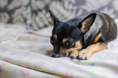 Χαριτωμένο σκυλί στον γκρίζο καναπέ Στοκ εικόνες με δικαίωμα ελεύθερης χρήσης