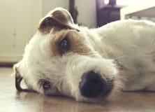 Χαριτωμένο σκυλί τεριέ του Russell εφημερίων Στοκ εικόνα με δικαίωμα ελεύθερης χρήσης