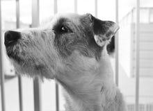 Χαριτωμένο σκυλί τεριέ του Russell εφημερίων Στοκ Φωτογραφία