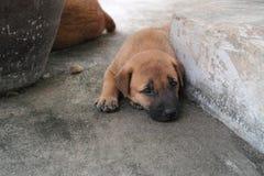Χαριτωμένο σκυλί της Καρολίνας Στοκ εικόνα με δικαίωμα ελεύθερης χρήσης