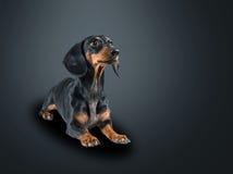 Χαριτωμένο σκυλί dachshund Στοκ Εικόνες