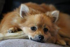 Χαριτωμένο σκυλί Pomeranian Στοκ Εικόνες