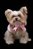 Χαριτωμένο σκυλί Smiley Στοκ Εικόνες