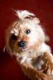Χαριτωμένο τεριέ του Γιορκσάιρ με ένα όμορφο hairdo Στοκ φωτογραφίες με δικαίωμα ελεύθερης χρήσης