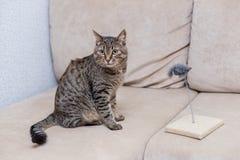 χαριτωμένο τιγρέ παιχνίδι γατών με ένα ποντίκι παιχνιδιών στοκ φωτογραφία με δικαίωμα ελεύθερης χρήσης