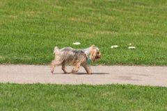 Χαριτωμένο υγρό χαϊδεμένο κουτάβι που τρέχει, αέρας που φυσά μέσω της μεταξωτής τρίχας Στοκ εικόνες με δικαίωμα ελεύθερης χρήσης