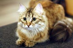 Χαριτωμένο φινλανδικό γατάκι Στοκ εικόνα με δικαίωμα ελεύθερης χρήσης