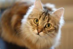 Χαριτωμένο φινλανδικό γατάκι shorthair Στοκ εικόνα με δικαίωμα ελεύθερης χρήσης