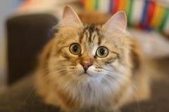 Χαριτωμένο φινλανδικό γατάκι shorthair Στοκ φωτογραφία με δικαίωμα ελεύθερης χρήσης