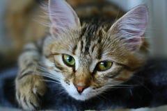 Χαριτωμένο φινλανδικό γατάκι shorthair Στοκ Εικόνες