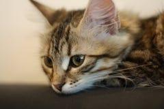 Χαριτωμένο φινλανδικό γατάκι shorthair Στοκ εικόνες με δικαίωμα ελεύθερης χρήσης