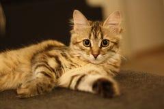 Χαριτωμένο φινλανδικό γατάκι shorthair Στοκ Φωτογραφίες