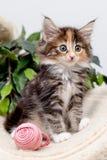 Χαριτωμένο χνουδωτό γατάκι με το παιχνίδι Στοκ Φωτογραφία