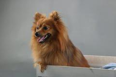 Χαριτωμένο χνουδωτό καφετί μικρό σκυλί Στοκ εικόνα με δικαίωμα ελεύθερης χρήσης