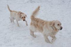 Χαριτωμένο χρυσό retriever και retriever του Λαμπραντόρ παίζουν στο άσπρο χιόνι Ζώα της Pet στοκ εικόνες