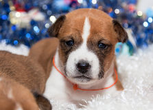 Χαριτωμένο basenji κουταβιών σκυλιών Στοκ φωτογραφίες με δικαίωμα ελεύθερης χρήσης