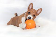 Χαριτωμένο basenji κουταβιών σκυλιών Στοκ εικόνες με δικαίωμα ελεύθερης χρήσης