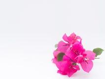 Χαριτωμένο Bougainvillea που απομονώνεται στο άσπρο υπόβαθρο Στοκ Φωτογραφίες