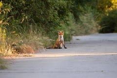 Χαριτωμένο cub αλεπούδων Στοκ εικόνα με δικαίωμα ελεύθερης χρήσης