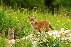 Χαριτωμένο cub αλεπούδων στοκ φωτογραφίες με δικαίωμα ελεύθερης χρήσης