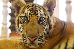 Χαριτωμένο cub τιγρών Στοκ Εικόνες