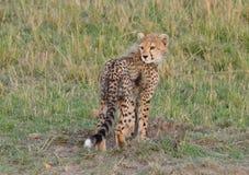 Χαριτωμένο Cub τσιτάχ που φαίνεται ο πίσω Tom Wurl Στοκ Εικόνες