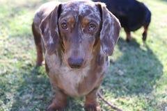 Χαριτωμένο dapple σοκολάτας dachshund που κοιτάζει επίμονα στοκ φωτογραφία με δικαίωμα ελεύθερης χρήσης