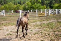 Χαριτωμένο foal κάστανων foal που και που κάνει η σκόνη κοντά στον άσπρο ξύλινο φράκτη στο αγρόκτημα, πίσω άποψη Στοκ φωτογραφίες με δικαίωμα ελεύθερης χρήσης