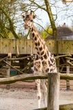 Χαριτωμένο giraffe κεφάλι με το περίεργο βλέμμα Στοκ Εικόνες