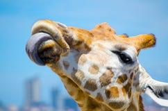 Χαριτωμένο giraffe που τίθεται σε μια γλώσσα ` s στην κινηματογράφηση σε πρώτο πλάνο Στοκ Φωτογραφία