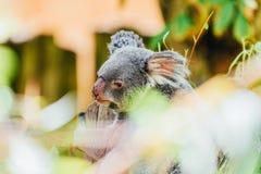 Χαριτωμένο Koala αντέχει το πορτρέτο Στοκ Φωτογραφία