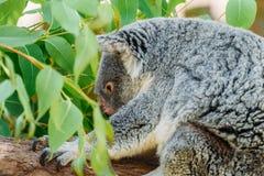 Χαριτωμένο Koala αντέχει το πορτρέτο Στοκ Εικόνες