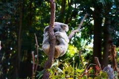 Χαριτωμένο Koala αφορά τα κλαδιά δέντρων, το γκρίζο koala γουνών χαλαρώνει στο limp, εγγενές αυστραλιανό ζώο στοκ φωτογραφίες με δικαίωμα ελεύθερης χρήσης
