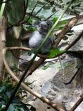 Χαριτωμένο koala στο δέντρο στοκ φωτογραφία με δικαίωμα ελεύθερης χρήσης