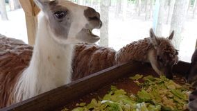 Χαριτωμένο llama που τρώει κοντά επάνω απόθεμα βίντεο