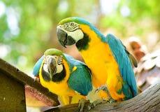 Χαριτωμένο macaw δύο Στοκ φωτογραφία με δικαίωμα ελεύθερης χρήσης