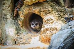 Χαριτωμένο Meerkat κινείται έξω από την τρύπα του Το meerkat ή suricat Στοκ Φωτογραφίες