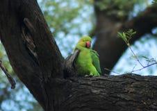 Χαριτωμένο Parakeet στοκ εικόνες με δικαίωμα ελεύθερης χρήσης
