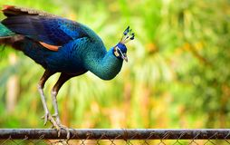 χαριτωμένο peacock Στοκ Εικόνα