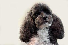 Χαριτωμένο poodle harlequin Στοκ Φωτογραφίες