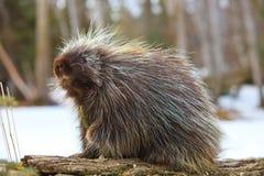 Χαριτωμένο porcupine που τσιμπά έναν κλάδο έλατου Στοκ φωτογραφία με δικαίωμα ελεύθερης χρήσης